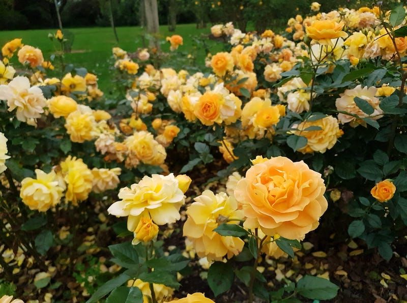 melbourne cup yellow rose, victoria state rose garden melbourne, family fun melbourne, werribee park, beautiful flowers