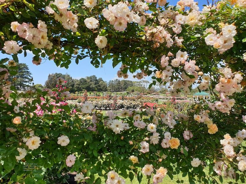 vic state rose garden melbourne, family friendly gardens, fun with kids, werribee, beautiful places in melbourne, best botanic gardens melbourne